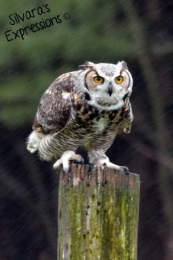 2016-05-14 - Great Horned Owl 001