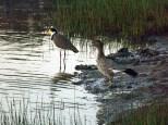 duck-plover