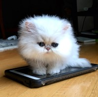 teacup persian kitten | teacup kitten | teacup persian cat | not