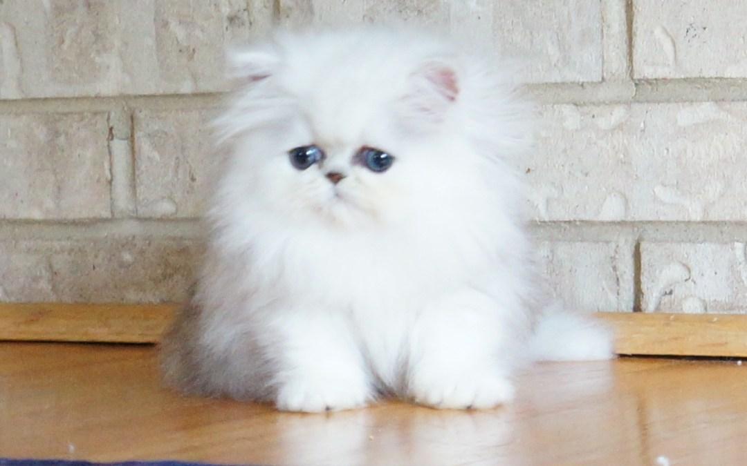 Persian Kittens for sale : Tips for Choosing a reputable Persian kitten breeder! ( Silver Persian kittens too :)