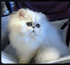 hiba kitten show
