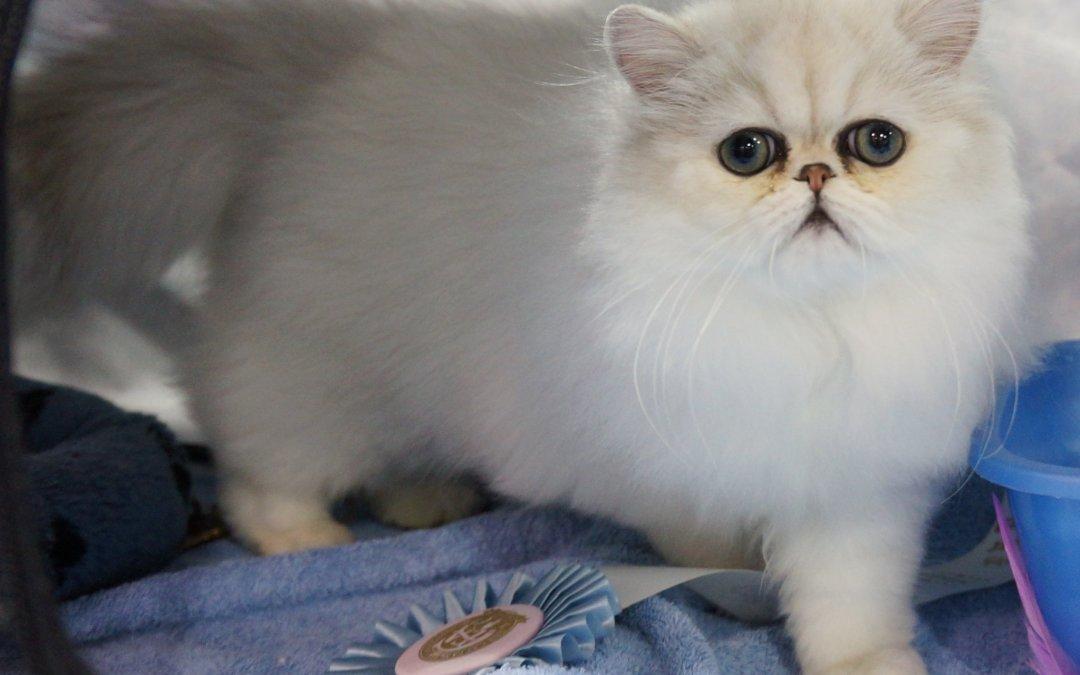 Shaded silver Persian kitten Simbakui Al-Amir of SilverDonia CFA Ann Arbor show MI 5/12/2012