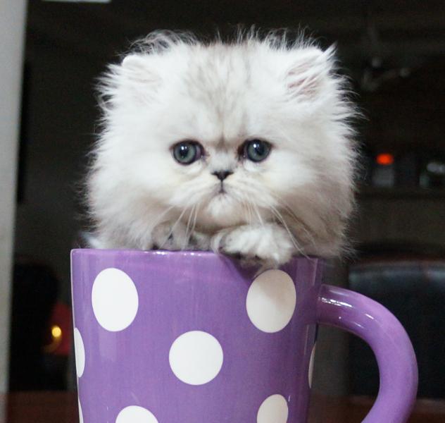 Silver Tabby Persian Kitten Tigress (Adopted!)