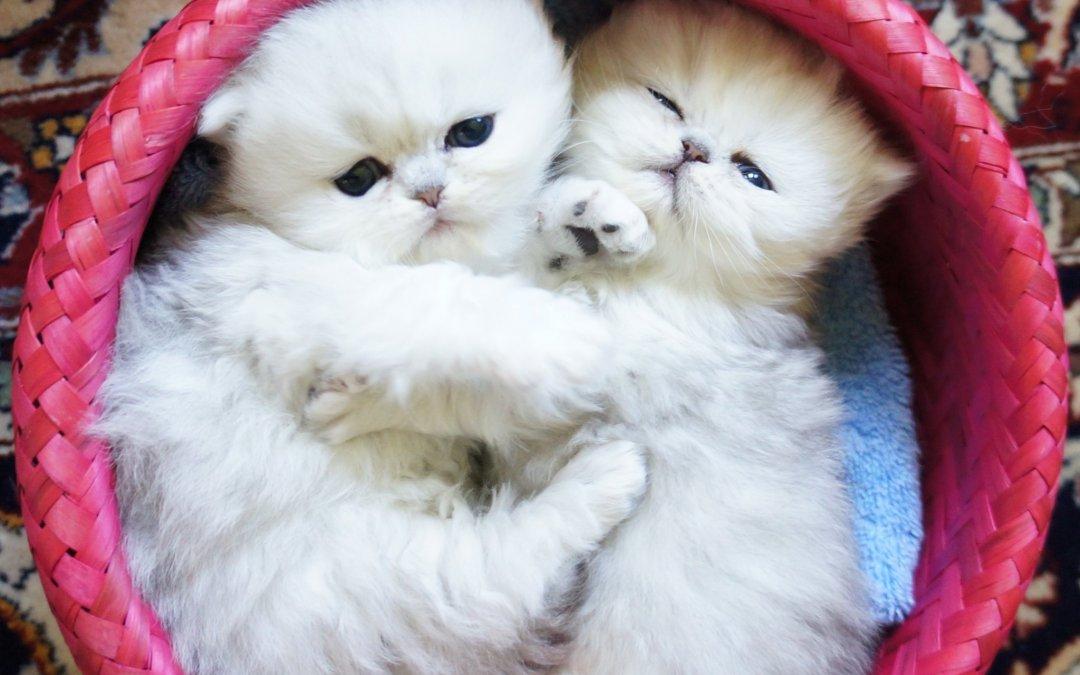 Silver Persian Kittens 8/2012