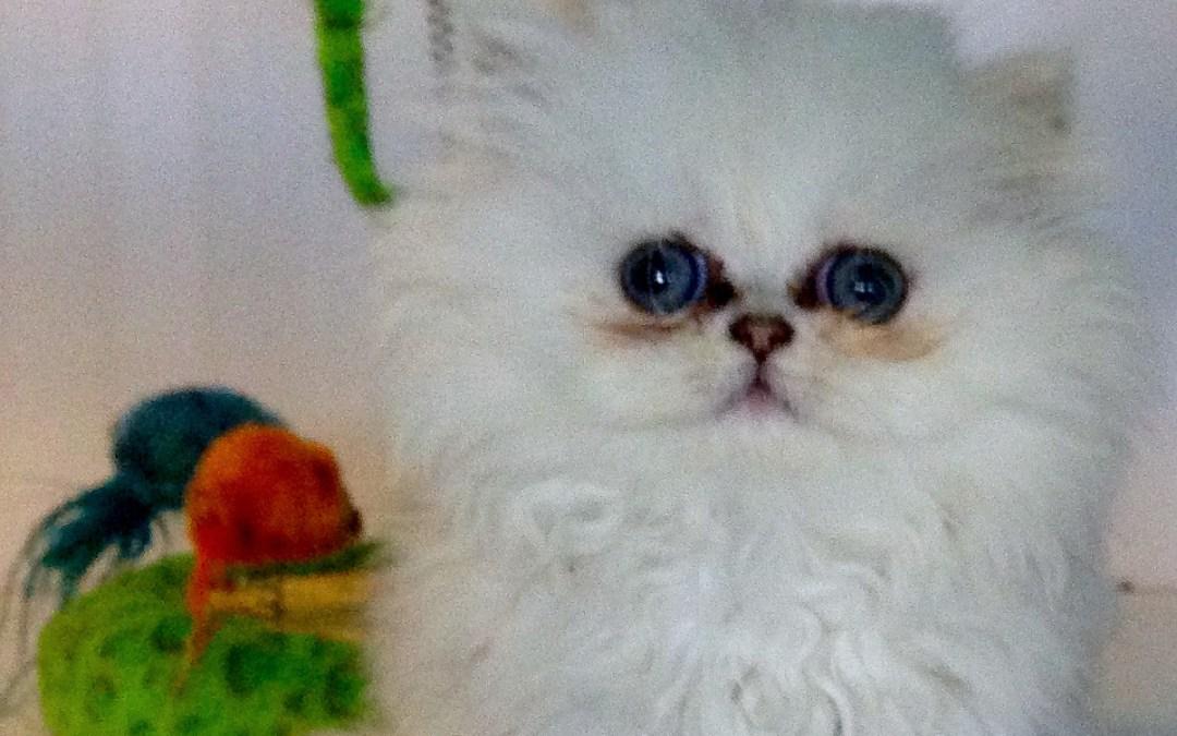Chinchilla Silver Persian kittens 6/2014