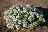 Alyssum Carpet Of Snow - Carpet Vidalondon