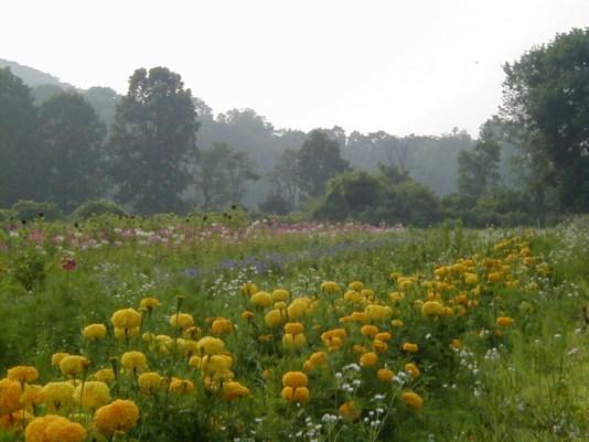 marigold row