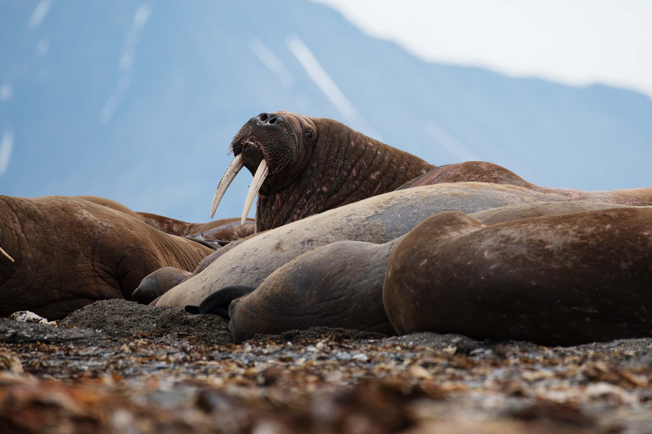 Video Walruses In The Arctic