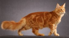 Classic Red Tabby Photo: © http://mainecoonspalace.com