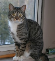 Example Mackerel tabby Photo: © http://www.catfinders.org/