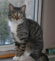 Example Mackerel tabby Photo: © http://www.catfinders.org/
