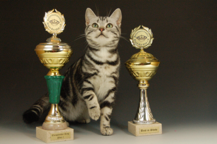 OP-Abby-Feb-25-2007-Best-Kitten-Winner-American-Shorthair-silver-tabby-cat-standing-between-two-trophies