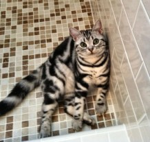 OP-Bailey-Jun-16-2014-American-Shorthair-silver-tabby-cat-sitting-in-tile-shower