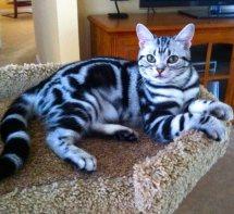OP-Bailey-May-9-2014-American-Shorthair-silver-tabby-kitten-lying-in-cat-tree