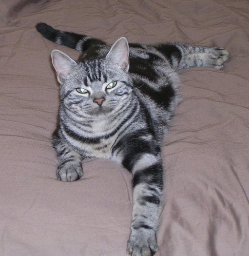 OP-Beau-Jun-23-2009-American-shorthair-silver-tabby-stretched-out-on-a-bed-2