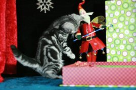 OP-Bumblebee-Dec-2-2011-American-Shorthair-silver-tabby-kitten-Christmas-picture-playing-with-toy-santa