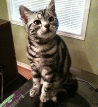 OP-Chairman-Meow-Jul-2-2013-American-Shorthair-silver-tabby-sitting-on-table-front-view