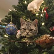 OP-CX-Lund-Dec-2016-American-Shorthair-silver-tabby-cat-playing-in-in-the-Christmas-tree
