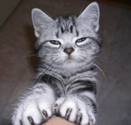 OP-Dakota-American-Shorthair-silver-tabby-kitten-face-with-paws-stretched-out