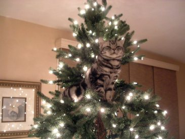 OP-Dakota-Dec-12-2004-American-Shorthair-silver-tabby-cat-in-Christmas-tree-2