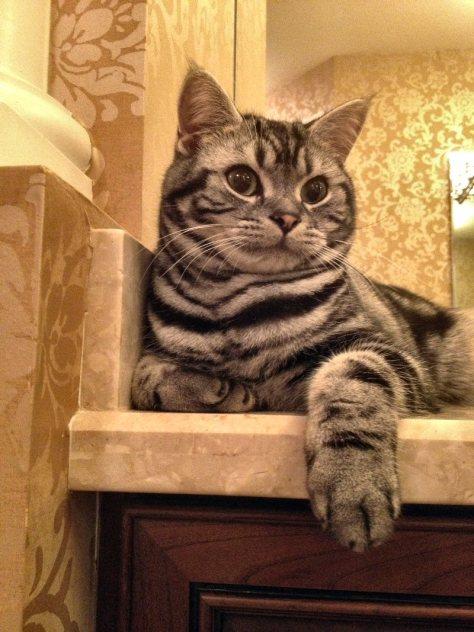 OP-Dakota-FL-Dec-1-2014-American-Shorthair-silver-tabby-resting-on-the-bathroom-countertop