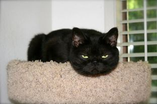 OP-Dougal-Apr-25-2014-American-Shorthair-black-smoke-cat-with-bright-gold-eyes-leans-round-face-off-cat-tree