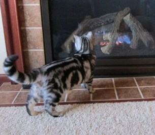 OP-Gibbs-Dec-14-2013-American-Shorthair-silver-tabby-cat-looking-at-fire-in-fireplace