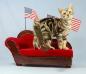 OP-Gus-Apr-3-2009-American-Shorthair-silver-tabby-cat-standing-on-miniature-chaise-lounge-surrounded-by-American-flags