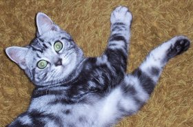 OP-Henry-American-Shorthair-classic-silver-tabby-cat-with-large-green-eyes-laying-on-carpet-right-side-and-face-view
