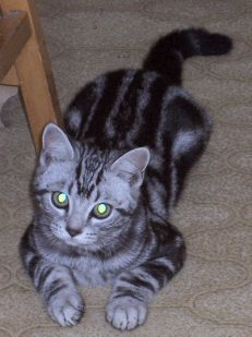OP-Henry-American-Shorthair-silver-tabby-cat-laying-on-carpet-face-view
