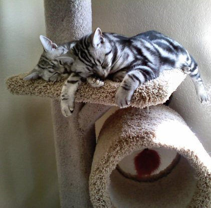 OP-Hiram-Cloe-two-American-Shorthair-classic-silver-tabby-cats-sleeping-on-cat-tree
