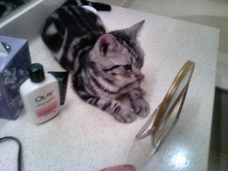 OP-Hiram-Jul-10-2012-American-Shorthair-silver-tabby-cat-lying-on-countertop-looking-in-mirror