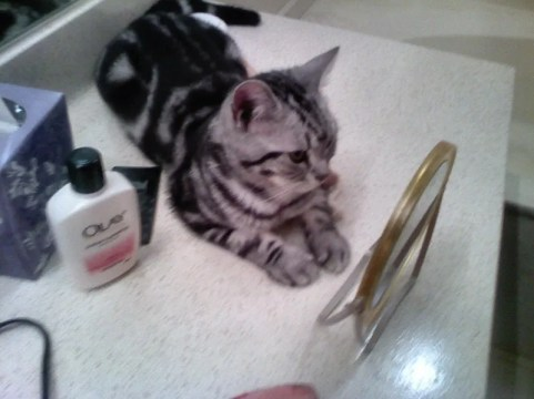 OP-Hiram-Jul-10-2012-American-Shorthair-silver-tabby-cat-lying-on-countertop-looking-in-mirror