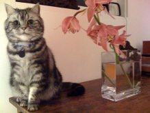 OP-Houdini-Nov-11-2005-American-Shorthair-silver-tabby-cat-siting-beside--glass-vase-with-pink-flowers