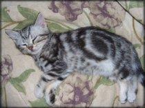 OP-Ignatius-Mar-20-2007--American-Shorthair-silver-tabby-kitten-sleeping-on-floral-bedspread