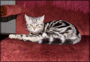 OP-Ignatius-Oct-29-2009--American-Shorthair-silver-tabby-cat-lying-on-red-chair