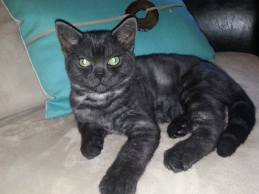 OP-Kona-American-Shorthair-black-smoke-kitten-lying-on-bed-with-turquoise-pillow-front-view