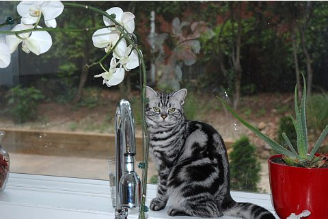 Image of American Shorthair silver tabby cat sitting on windowsill beside white orhcids