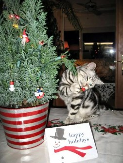 Image of American Shorthair silver tabby cat investigating the christmas tree