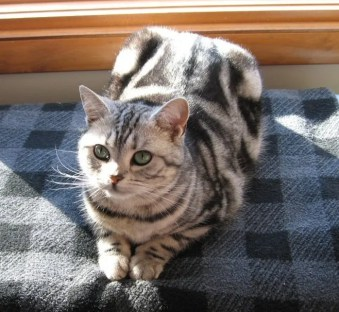 Image of American Shorthair silver tabby lying on blue checkered blanket in sunlight top view dorsal stripe
