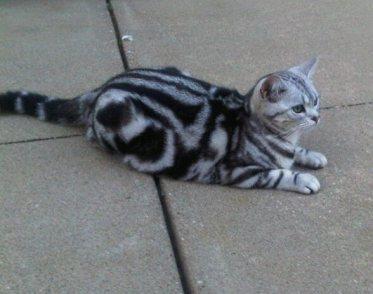 OP-Luna-May-25-2013-American-Shorthair-silver-tabby-cat-lying-on-concrete-sidewalk