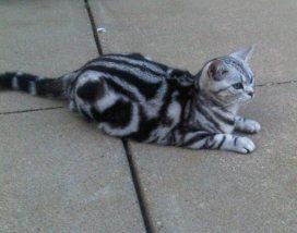 Image of American Shorthair silver tabby cat lying on concrete sidewalk
