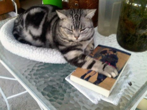 OP-Luna-Nov-8-2013-American-Shorthair-silver-tabby-cat-holding-down-book-with-paw