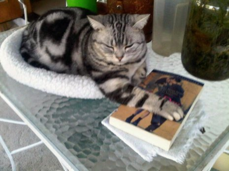 Image of American Shorthair silver tabby cat holding down book with paw