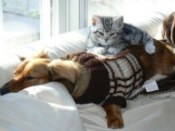 Image of American Shorthair kitten sleeping on top of dachshund dog