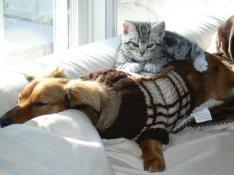 Image of American Shorthair kitten sleeping on top of dachshund dog