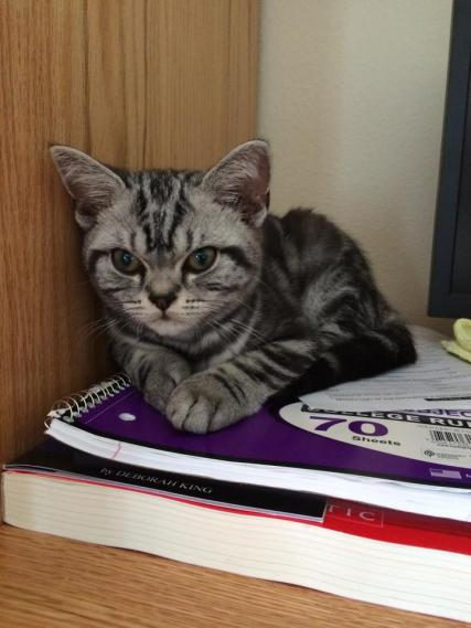 Image of American Shorthair silver tabby kitten lying on top of spiral notebook