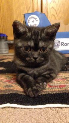Image of American Shorthair black smoke kitten lying on carpet face view