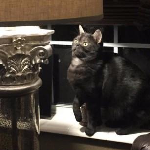 Image of American Shorthair black smoke cat sitting beside lamp