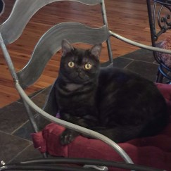 Image of American Shorthair black smoke cat with round gold eyes sitting on metal chair